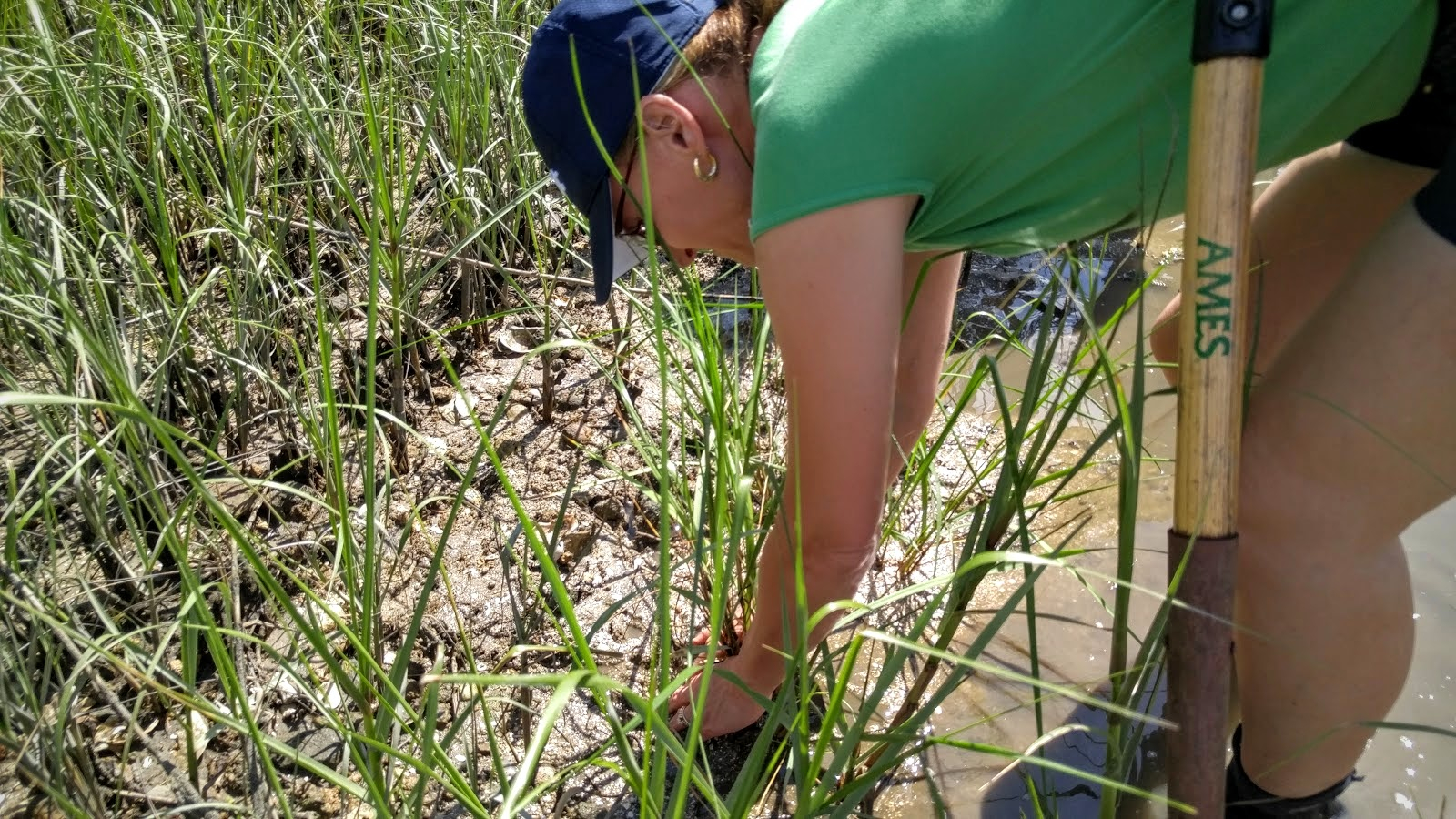 Planting smooth cordgrass plugs